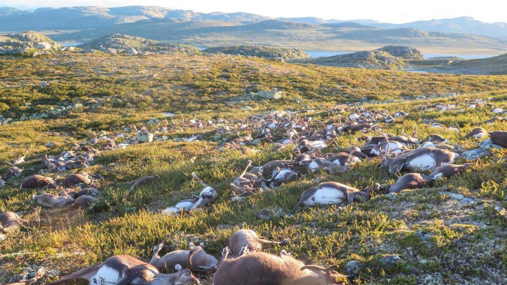 renos muertos por el impacto de un rayo